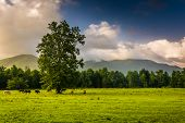 Tree And Horses In A Field, At Cade's Cove, Great Smoky Mountains National Park, Tennessee.