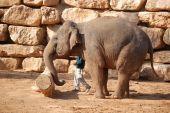 asian elephant pushing the log