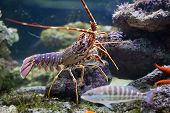 stock photo of lobster tail  - A striated fish swimming in aquarium near a lobster