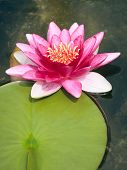 An image of a beautiful pink Nymphaea