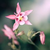 An image of a beautiful pink Aquilegia