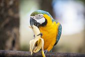 Blue and yellow Macaw eating banana
