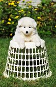Cute Malamut Puppy