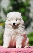 Cute White Puppy Portrait