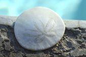 stock photo of sand dollar  - Sand Dollar animal sea shell in a circular shape - JPG