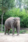 Mature Elephant standing with trees on a the background