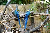 Amazon Parrots in blue tones at the zoo