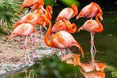 Portrait Of American Flamingos