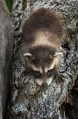 Baby Raccoon (Procyon lotor) Climbs Down Log