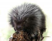 Backlit Baby Porcupine (Erethizon dorsatum)