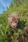 Red Fox Kit (Vulpes Vulpes) Comes Forward