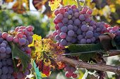 Red Wine Grapes At Harvest