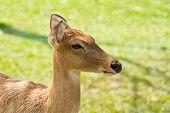 pic of roebuck  - Deer of Thailand to bring them in the zoo - JPG
