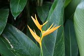 Tropical Flower Heliconia.