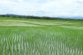 rice field of farmer