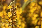 Golden Flower In The Garden