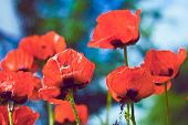 Red Poppy Flowers In The Garden