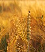 Wheat, Rye, Oats With Ladybug