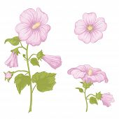 Flowers mallow, isolated