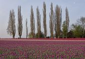 Tulips With Poplar Trees