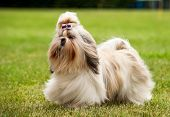 Shih Tzu Running On The Green Grass Moment