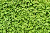 Wall of green branches raspberry