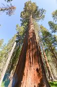 Sequoias In Mariposa Grove, Yosemite National Park