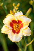 Day Lily In Garden