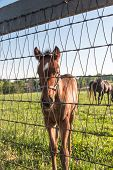 stock photo of colt  - A brown colt in pastures of horse farms  - JPG