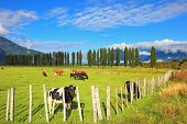 Rural idyll in Chilean Patagonia. Orange and black cow grazing on grass field. Field fenced low fenc