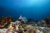 Parrotfish And Ocean