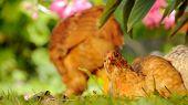 Chicken Resting On Green Grass