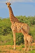 Giraffe - African Wildlife Background - Loving Mom
