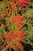 Cotoneaster berries.