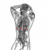 3D Render Medical Illustration Of The Human Adrenal Glands