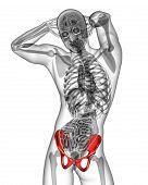picture of pelvis  - 3d render medical illustration of the pelvis bone  - JPG