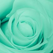 close up of green rose petals