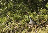 male californian valley quail