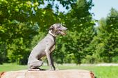 pic of greyhounds  - Elegant greyhound sitting  on the stump in park - JPG