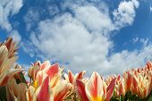 Tulip field close-up with blue sky and clouds
