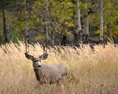 image of mule  - A large mule deer buck standing in a meadow with aspen trees in the background in Rocky Mountain National Park near Estes Park Colorado - JPG
