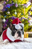 French bulldog in santa hat under christmas tree