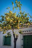 Lemon Tree In The Street