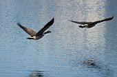 Two Canada Geese Flying Over The Lake
