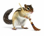 picture of chipmunks  - Funny chipmunk cleaner holding broom isolated on white background - JPG