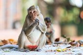 Monkey (crab-eating Macaque) Eating Fruit In Thailand