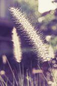 Field Grass Blowing in the Wind