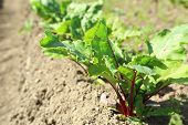 Young Beetroot Growing On Soil