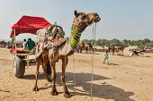 PUSHKAR, INDIA - NOVEMBER 20, 2012: Camel