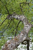 Birch Tree At The Lake Shore